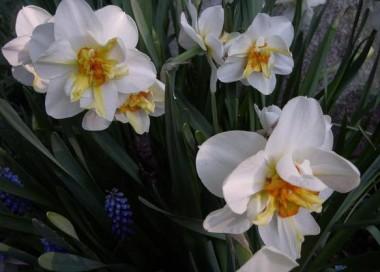 Нарцисс Flower Drift почтой