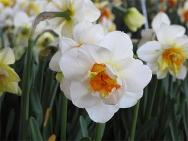 Нарцисс Flower Drift в киеве
