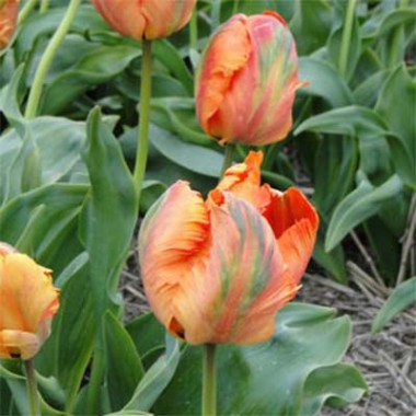Тюльпан Flower Power почтой
