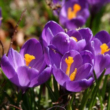 Крокус Flower Record 100 фото