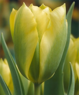 Тюльпан Formosa фото цена