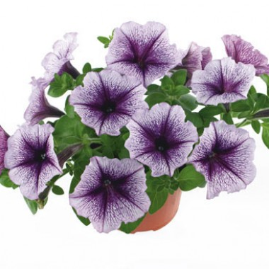 Петуния Fortunia Purple Vein смотреть