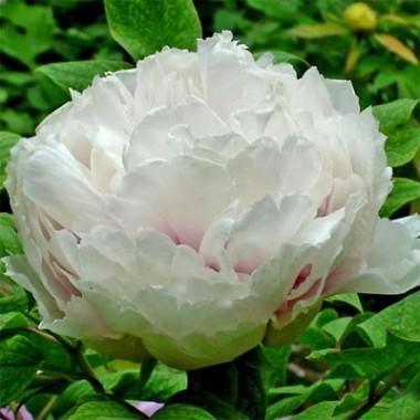 Пион Fragrant Jade древовидный фото цена