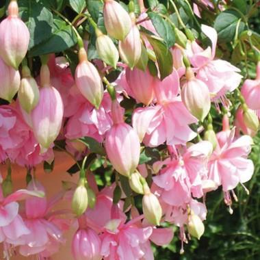 Фуксия Pink Galore описание