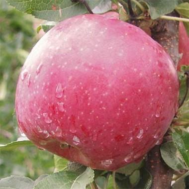 Яблоня Фуджи Кику фото цена