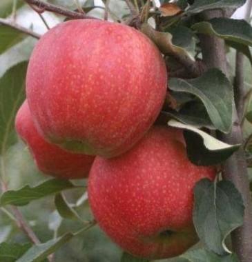 Яблоня Гала Шнига в киеве