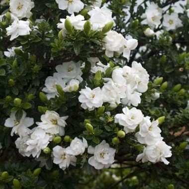 Гардения Crown Jewel фото цена