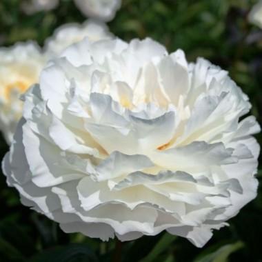 Пион Gardenia смотреть