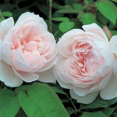 Роза Generous Gardener (плетистая) интернет-магазин