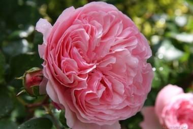 Роза Mariatheresia описание