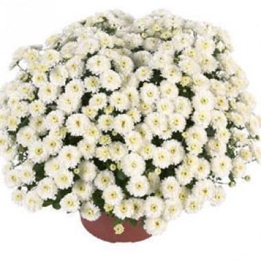 Хризантема Gigi Snow купить онлайн
