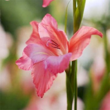 Гладиолус Charming Beauty фото цена