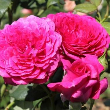 Роза Johann Wolfgang von Goethe  в киеве