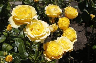 Роза плетистая Golden Gate  описание