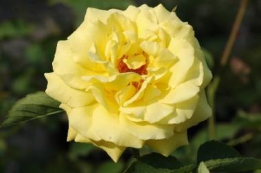 Роза плетистая Goldstern купить онлайн