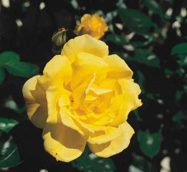 Роза плетистая Goldstern в киеве