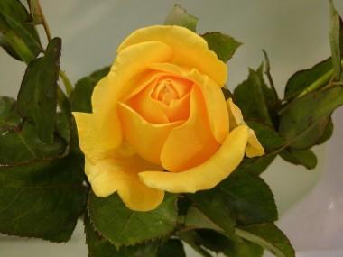 Роза плетистая Goldstern смотреть