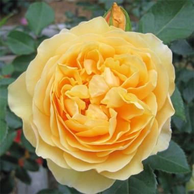 Роза Graham Thomas смотреть