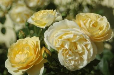 Роза Graham Thomas описание