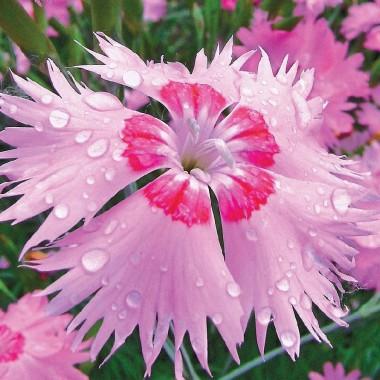 Гвоздика Розовый Амур смотреть