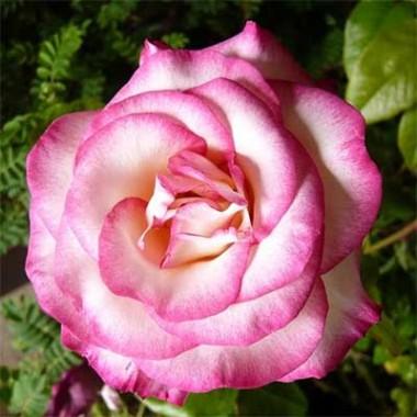 Роза Haendel в киеве