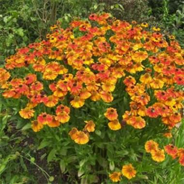 Гелениум Sahin's Early Flowerer купить онлайн