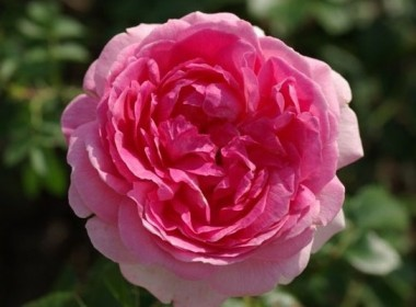 Роза Hermitage в киеве