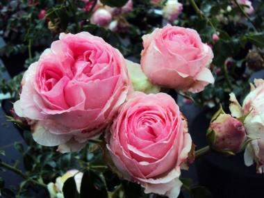 Роза Hermitage почтой
