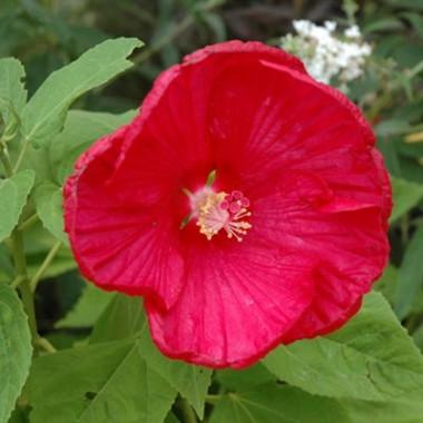Гибискус садовый Disco Belle Rosy Red интернет-магазин