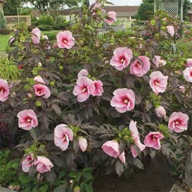 Гибискус садовый Summer Storm почтой