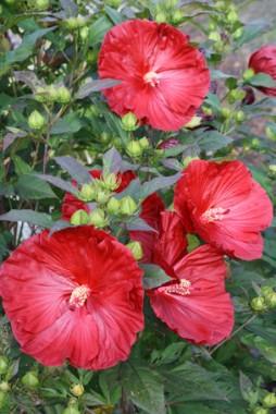 Гибискус садовый Cranberry Crush фото