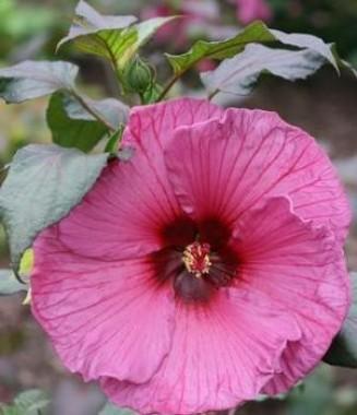Гибискус садовый Plum Crazy фото цена