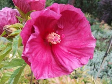 Гибискус садовый Fantasia почтой