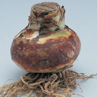 Амариллис Apple Blossom фото цена