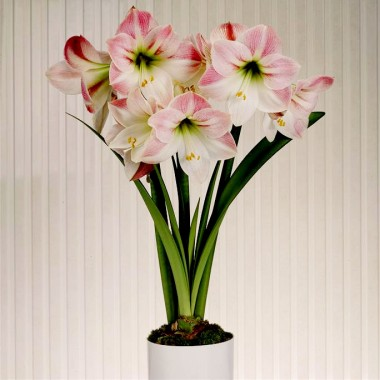 Амариллис Apple Blossom интернет-магазин