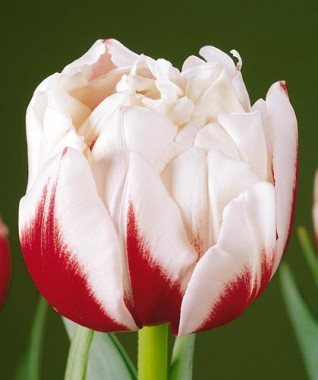 Махровые тюльпаны купить