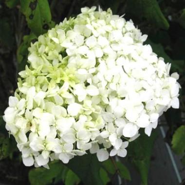 Гортензия Grandiflora фото