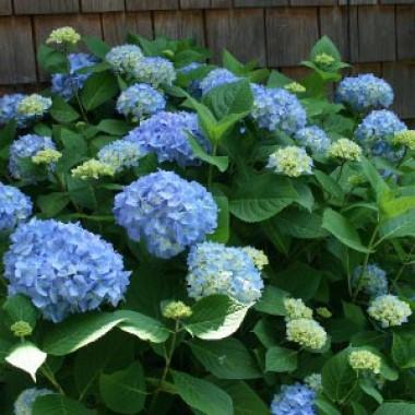 Гортензия Nikko Blue почтой