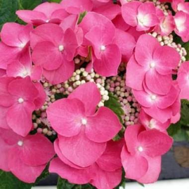 Гортензия садовая купить