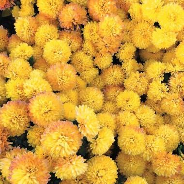 Хризантема Золотой мяч фото цена