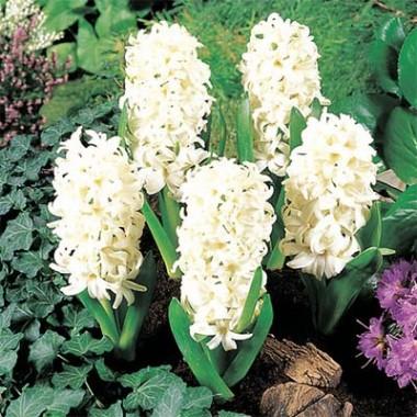 Гиацинт White Pearl купить онлайн