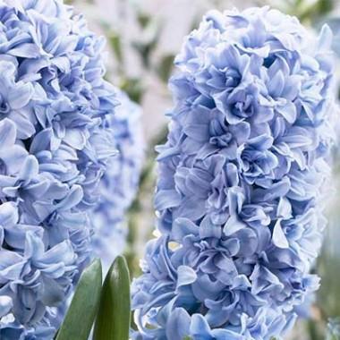 Гиацинт Махровый Blue Tango купить онлайн