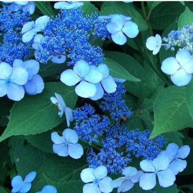 Гортензия Bluebird почтой