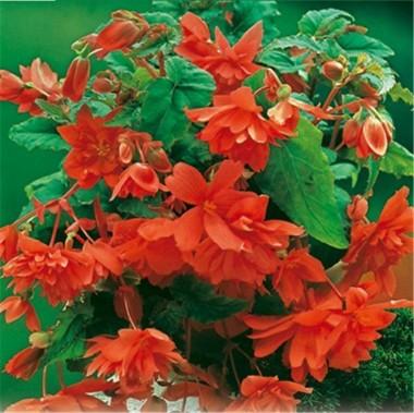 Бегония Cascade Orange описание
