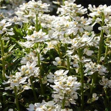Иберис Whiteout фото цена