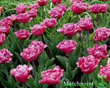 Тюльпан Matchpoint интернет-магазин