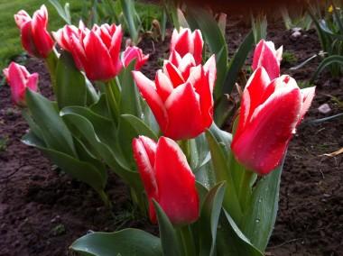 Тюльпан Pirand фото