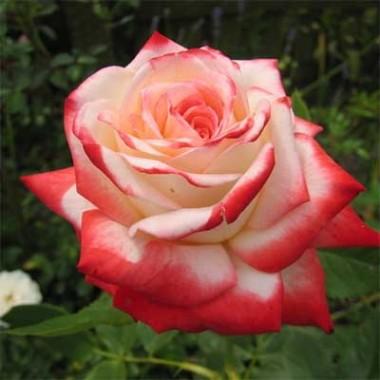 Роза Imperatrice Farah смотреть