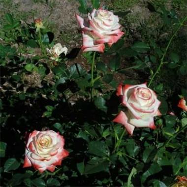 Роза Imperatrice Farah описание