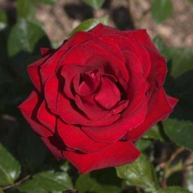 Роза Ingrid Bergman фото цена